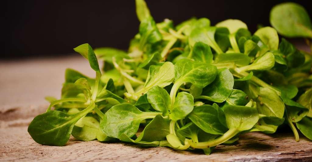 La salade Coquille de Louviers est une variété de mâches. © Velychko Viktoriia, Shutterstock