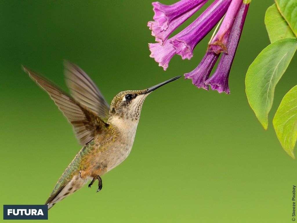 Colibri butinant de fleur en fleur à la quête de nectar