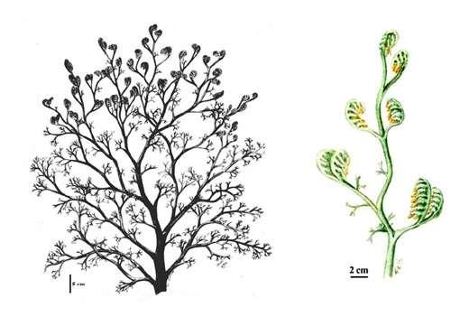 Fig. 18 à gauche : Rellimia. Vue générale du buisson. A droite Fig. 19 : Rellimia. Détail d'un axe fertile.