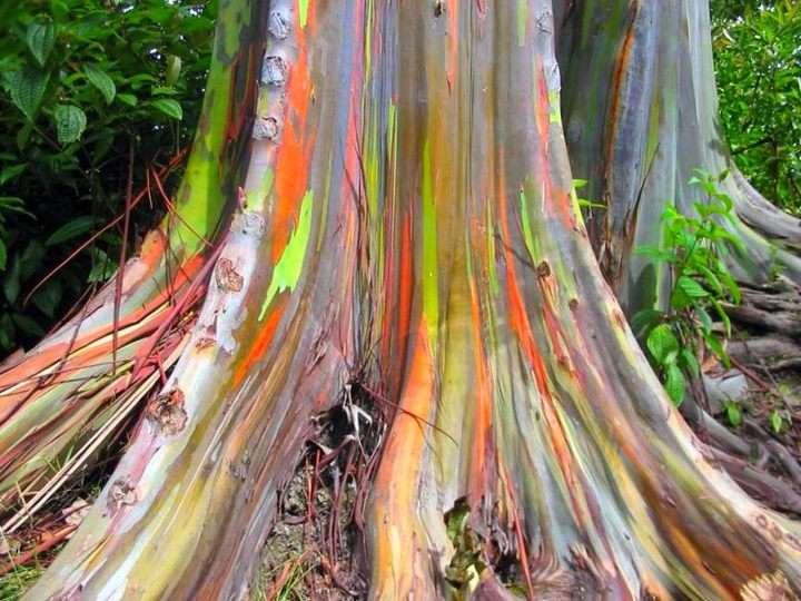 Eucalyptus deglupta, un arbre arc-en-ciel !