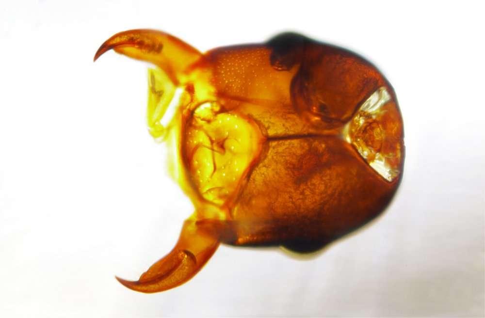 Une tête de fourmi magnifiquement conservée qui laisse voir le ganglion nerveux cérébral. © Éric Geirnaert