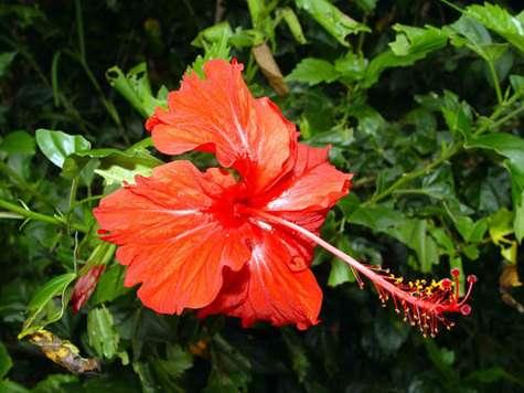 Hibiscus rosasinensis Pouébo. © Bernard Suprin Tous droits réservés