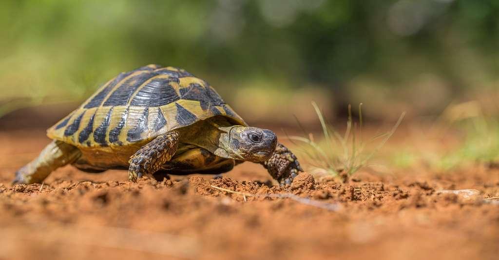 Les reptiles herbivores sont particulièrement sensibles. Les tortues, par exemple, sont menacées, entre autres, par des espèces envahissantes. © MF Photo, Adobe Stock