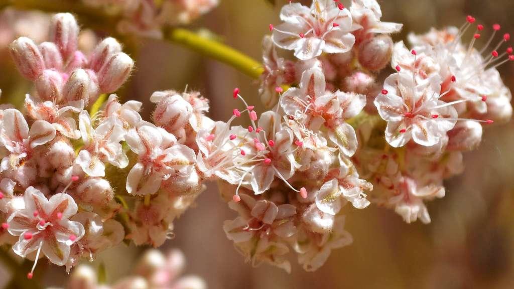 Le sarrasin ou blé noir, une plante à fleurs