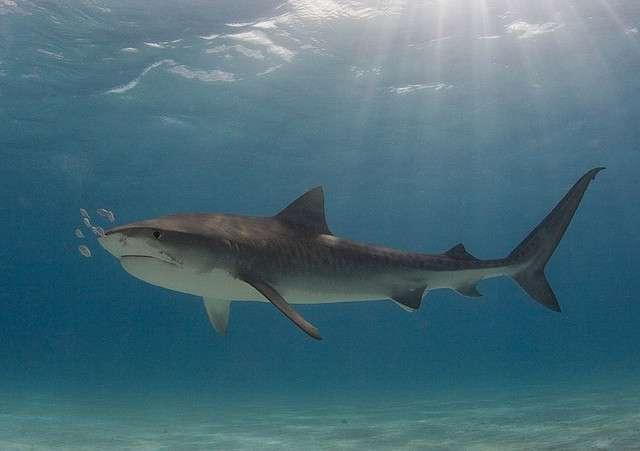 Les requins tigres, dont le corps est brun-gris et strié par des zébrures verticales, peuvent atteindre 4 m de long et peser jusqu'à 500 kg. Ils seraient responsables d'environ 20 % des attaques fatales. © Willy Volk, Flickr, CC by-nc-sa 2.0