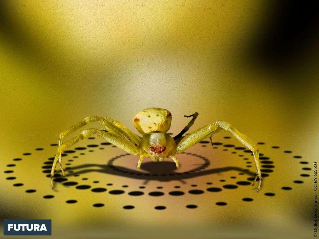 Araignée crabe citron