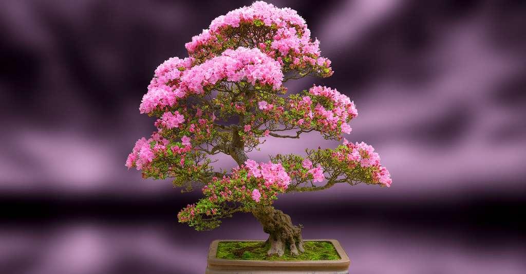 Les bonsaïs souffrent-ils de leur petite taille ? Photo prise au Pacific BonsaiMuseum. ©Daniel Gasienica , CC by-nc 2.0