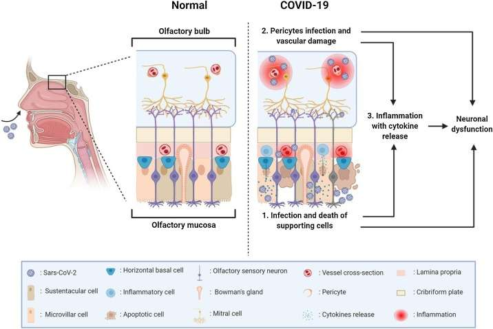 Les deux mécanismes proposés par les médecins italiens pour expliquer l'anosmie chez les patients atteints de la Covid-19. © Andrea Mastrangelo et al. NeuroscienceLetters