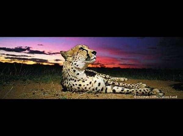 Un guépard étendu dans la savane. © Cheetah Conservation Fund, DR