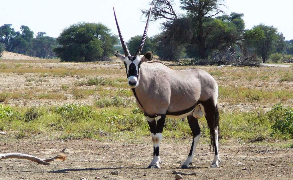 Un oryx, dans le parc de Kgalagadi, dans le Botswana. © Gossipguy, Wikimedia Commons by-sa 3.0