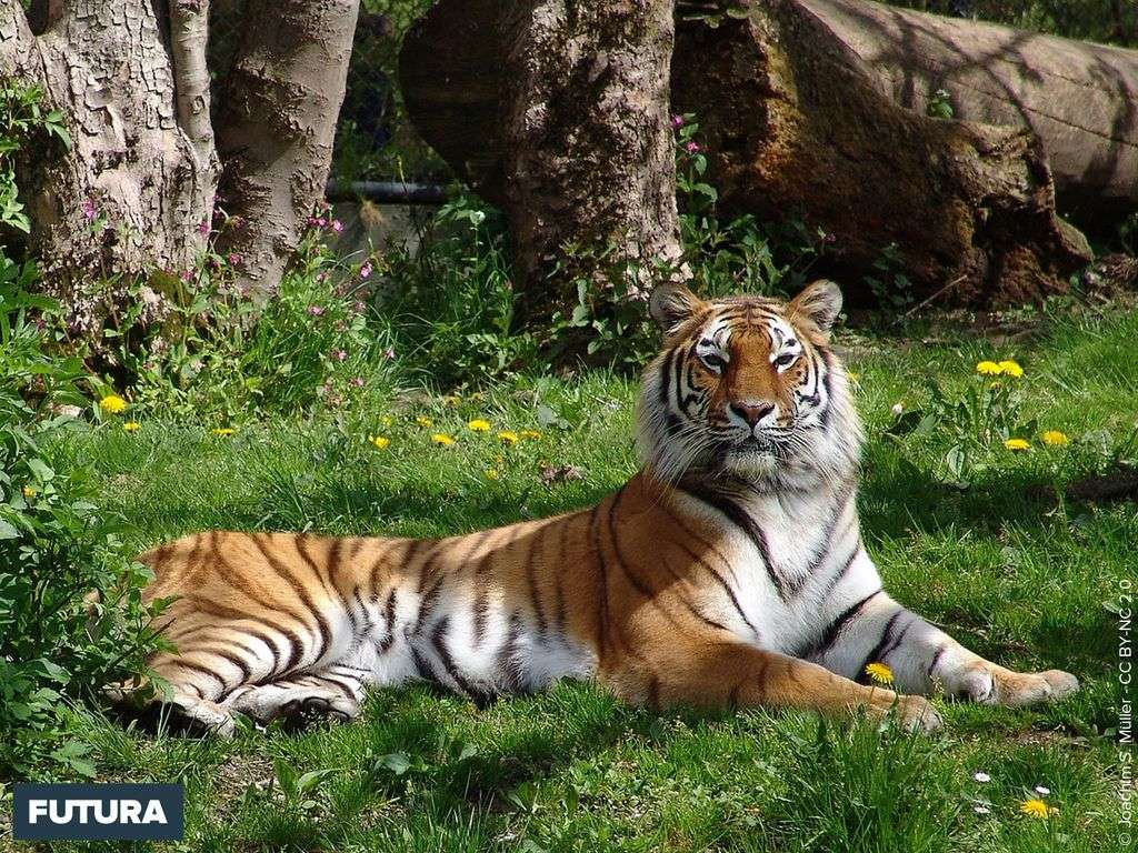 Tigre un repos bien mérité