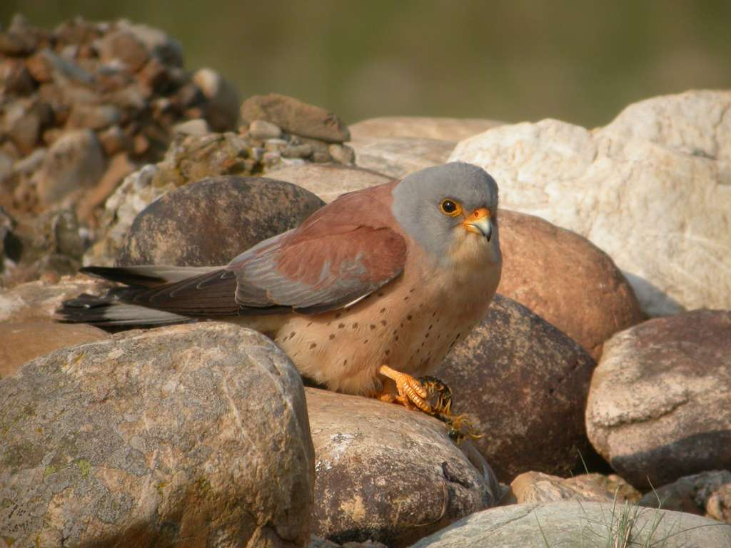 Ce faucon crécerellette mâle a capturé une proie qu'il offrira peut-être à une femelle. © Philippe Pilard, DR