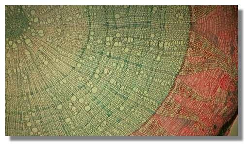 Figure 7. Coupe anatomique transversale d'un tronc de tilleul de 8 ans. Comparer avec le schéma précédent. Les cernes de bois sont irrégulières ; leur épaisseur dépend des conditions climatiques de l'année durant laquelle elles se sont formées. Le liber est éclaté vers l'extérieur par suite de l'augmentation du diamètre ; le cambium est la ligne qui sépare le bois (zone verte) et le liber (zone rouge) ; le liège est la zone foncée située en bas à droite. © Photo R. Prat