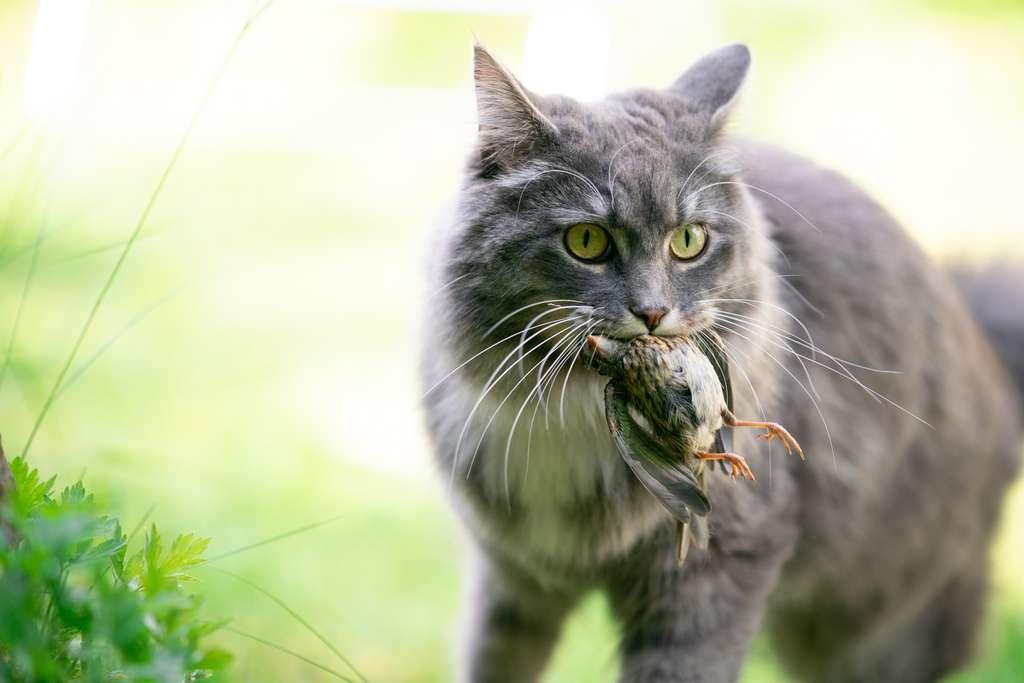 L'alimentation du chat domestique nourrit-elle son instinct de prédateur ? © FurryFritz, Adobe Stock