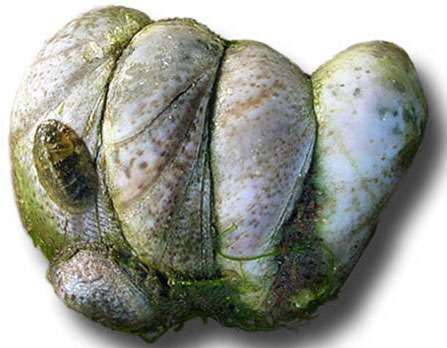 Crepidula fornicata, la crépidule introduite en Europe. © Lamiot, licence Creative Commons Paternité – Partage des conditions initiales à l'identique 1.0 générique