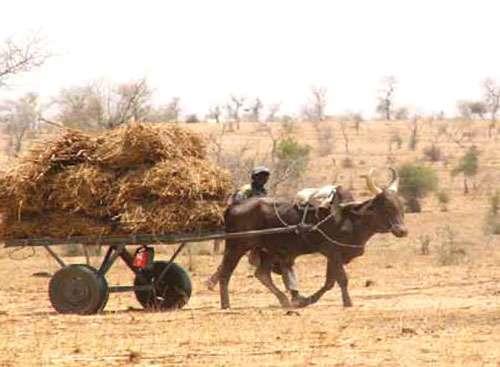 Transport de ressources fourragères au Niger, photo extraite du rapport de synthèse sur les Impacts des investissements dans la gestion des ressouces naturelles au Niger. © Cilss