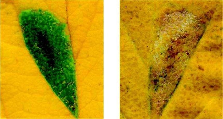 Alors que le halo vert entoure l'insecte pourvu de bactéries endosymbiontiques (à gauche), les insectes en étant dépourvus ne sont pas capables de modifier la physiologie de la plante à leur avantage (à droite). © Université de Tours / Proceedings of the Royal Society B