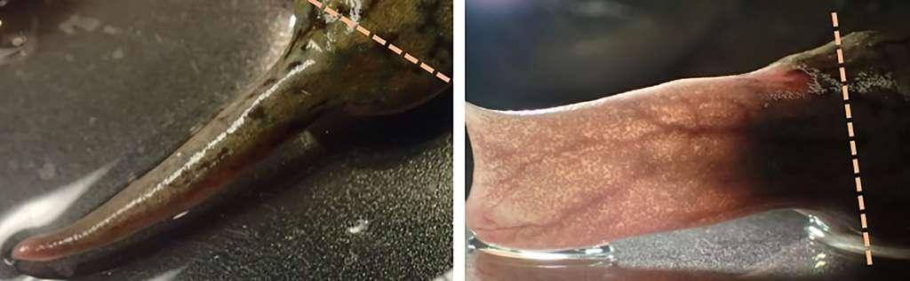 L'amputation d'un membre conduit à la formation d'une « épine » de cartilage chez la grenouille adulte (à gauche). Un traitement avec la progestérone pendant 24 heures permet la formation d'une structure en forme de « pagaie » (à droite). © Celia Herrera-Rincon
