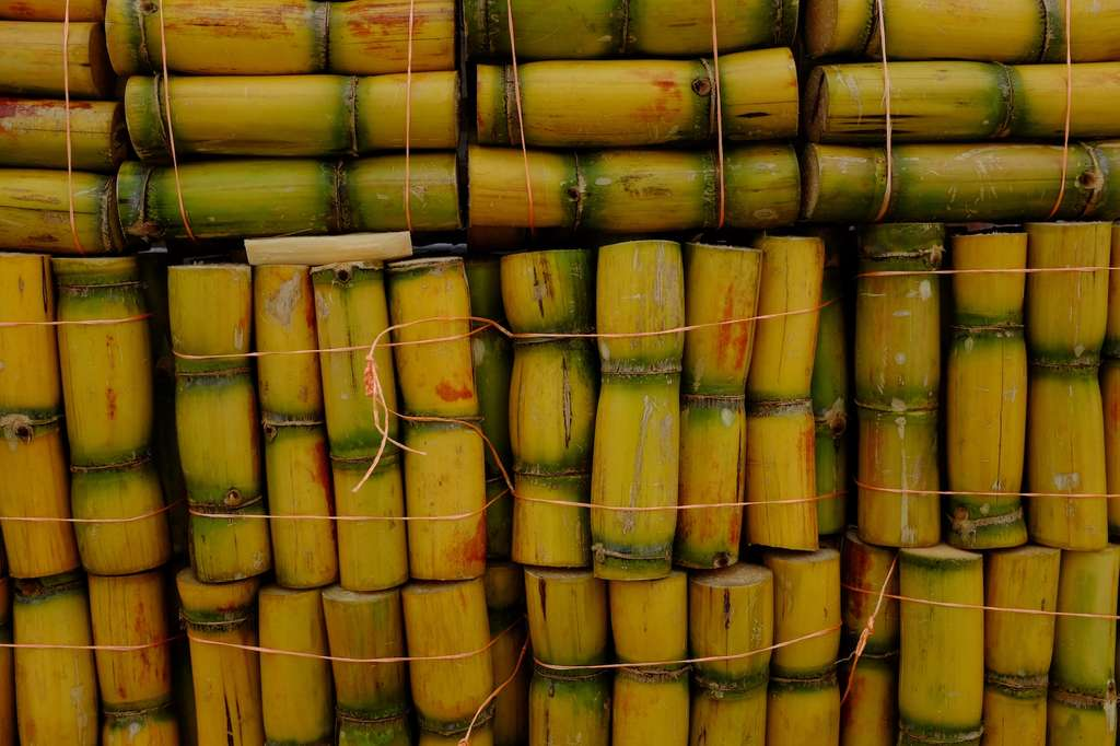 La canne à sucre est l'autre plante de laquelle est extrait le sucre. C'est une plante tropicale ; en France, elle est produite dans les Antilles et à la Réunion. © Benoît Ferradini, Flickr, CC by-nc-sa 2.0