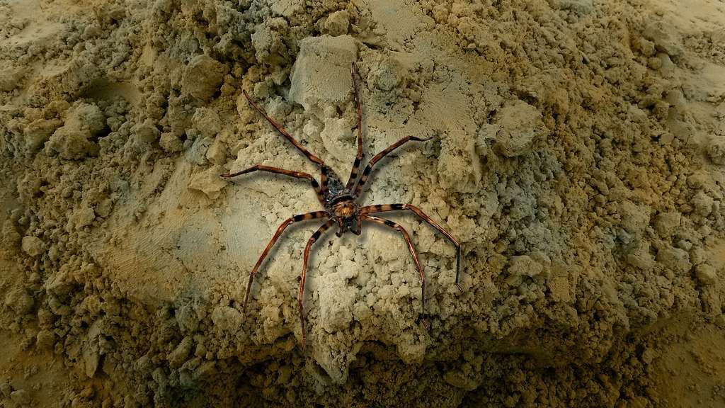 Heteropoda maxima, l'une des plus grandes araignées du monde