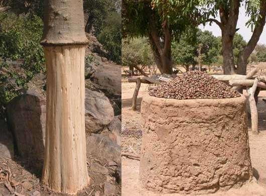 Les services de la biodiversité (à gauche prélèvement de l'écorce des Baobab, Adansonia digitata (Pays Dogon, Mali - 2002) et à droite, séchage des noix de Karité, Vitellaria paradoxa (Sokouna, Mali - 2005) © Photo Philippe Birnbaum - Tous droits de reproduction réservés