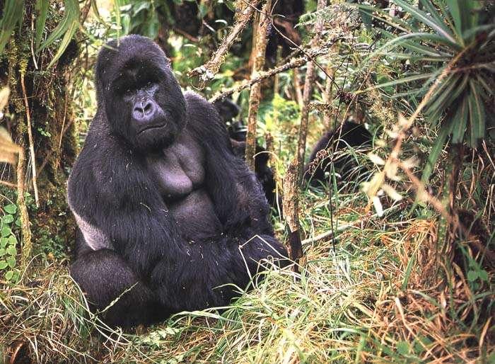 Femelle Gorille