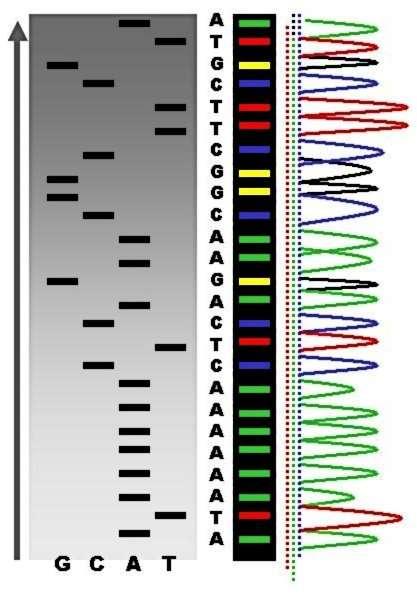 La séquence peut se lire à l'œil sur un gel d'acrylamide grâce aux bandes radioactives visibles dans chaque poche (à gauche, en noir et blanc), ou au séquenceur capable de détecter les intensités de fluorescence de chaque bande (à droite, en couleurs). © Abizar, Wikimedia, CC by-sa 2.5
