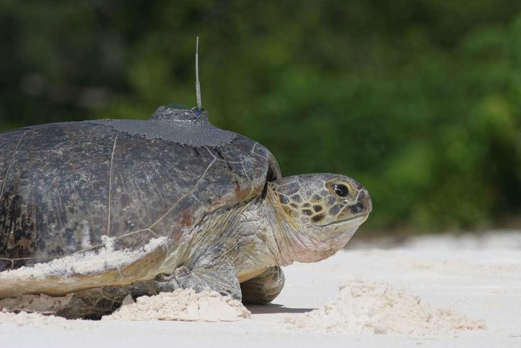 Une tortue marine de la Réunion sur laquelle vient d'être installée une balise Argos afin de la suivre et la localiser à tout moment. © Ifremer, J. Bourjea