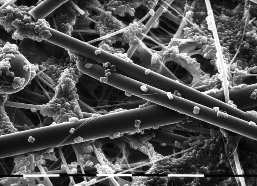 Colonisation de fibres de verre par Staphylococcus carnosus (x 3.240). © Régine Talon/Inra