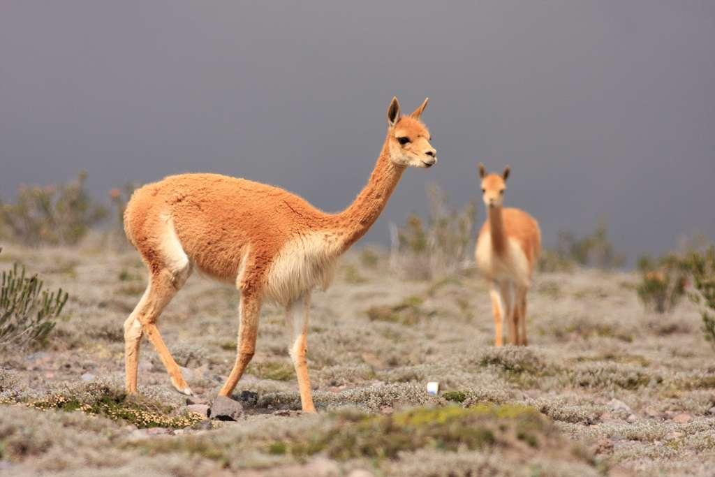 Vigognes dans la réserve de Chimborazo, en Équateur. © Flickr, Santiago Ron, cc by nc 2.0