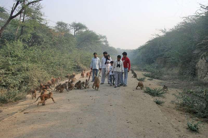 Troupe de macaques. © J.M.Garg, GNU FDL Version 1.2