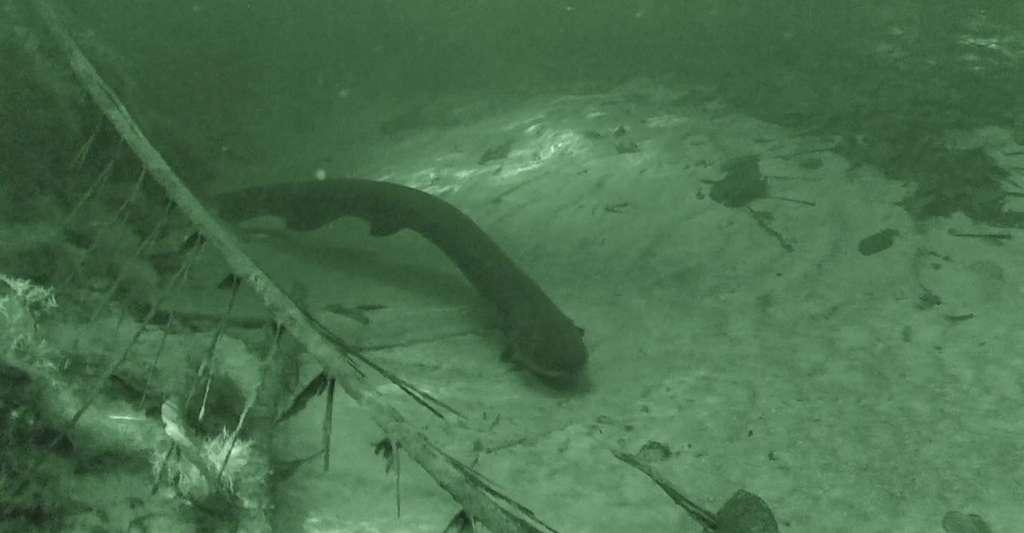 """Résultat de recherche d'images pour """"Découverte  nouvelle espèce d'anguille électrique à haute tension"""""""