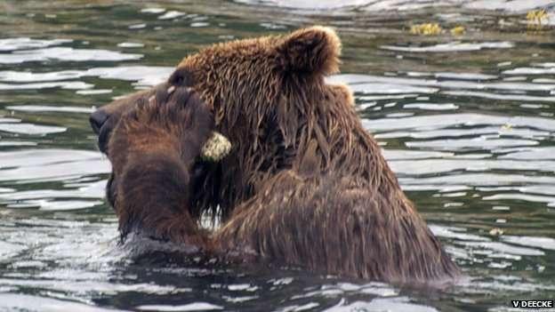 Cet ours brun se nettoie avec une pierre rugueuse tenue au sein de ses pattes antérieures. Voici une nouvelle espèce capable d'utiliser un outil. © V. Deecke.
