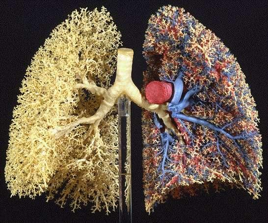Le réseau pulmonaire, une organisation fractale