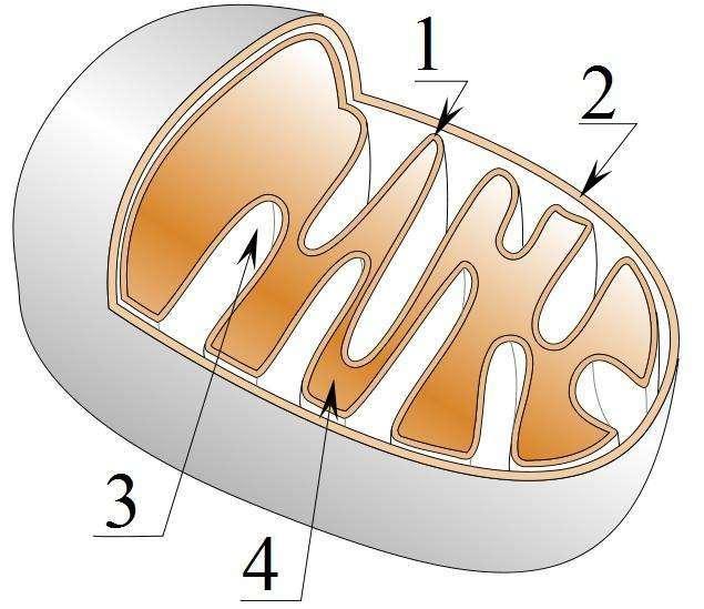 Schéma descriptif de la structure mitochondriale : 1. : membrane interne; 2. : membrane externe; 3. : espace intermembranaire; 4. : matrice. © Tatoute, Wikimedia, CC by-sa 3.0