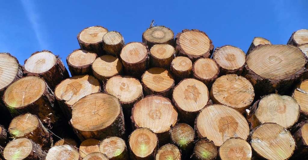 Troncs d'arbres coupés pour la scierie. © Succo - Domaine public