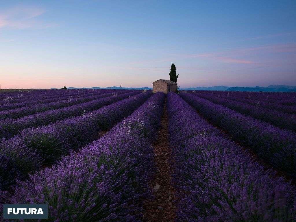 Provence, champs de lavande près de Valensole