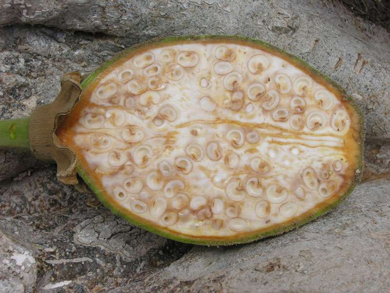 Coupe d'un fruit de baobab