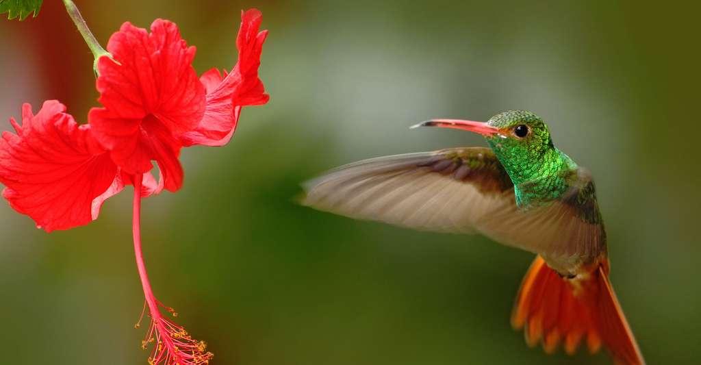 Quels sont les différents acteurs et processus de la pollinisation ? Ici, une espèce de colibris vivant en Équateur. © Ondrej Prosicky, Shutterstock