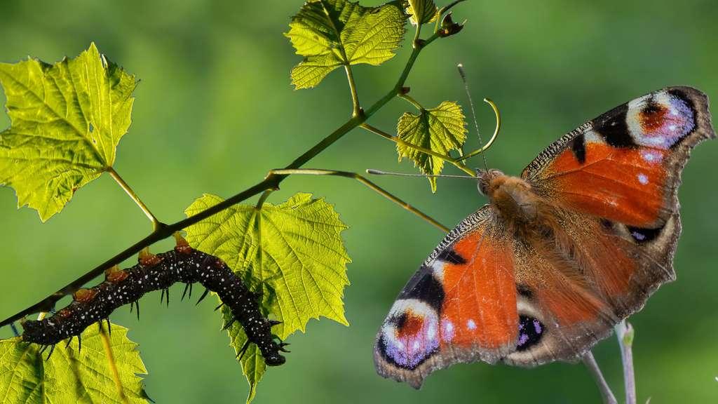 D'une chenille sombre au Paon du jour, un papillon chatoyant