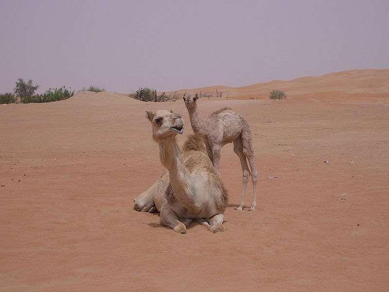 Chamelle et son petit dans le désert de Dubaï. © Benpsycho, Wikipédia, GNU 1.2