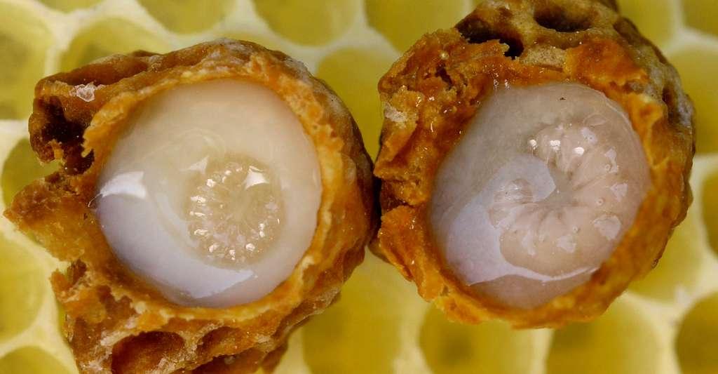 Deux cellules royales montrant des larves d'abeilles européennes dans de la gelée royale. © Waugsberg, CC by-nc 2.0