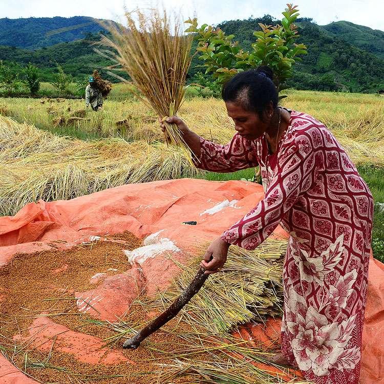 Récolte du riz en Casamance, au Sénégal. © Taufik81, Pixabay, DP