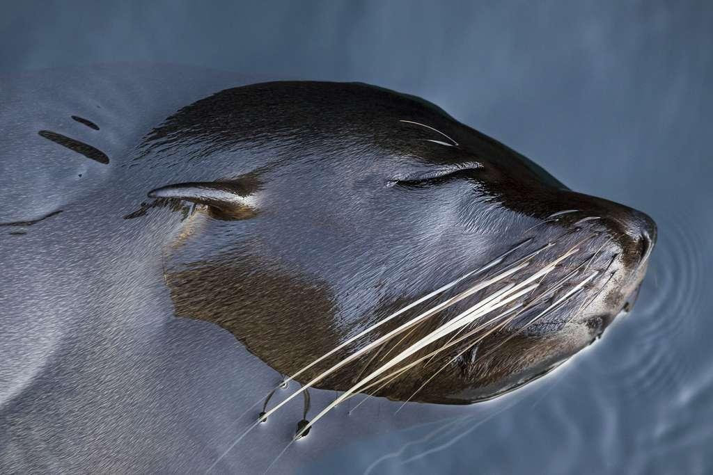 Les otaries des Galápagos règnent en maître sur les rivages des différentes îles de l'archipel. © Maxime Aliaga, tous droits réservés