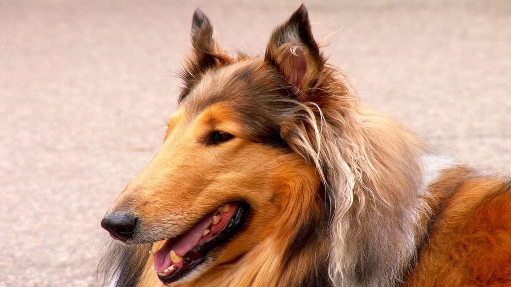 Le colley, un chien doux et fidèle