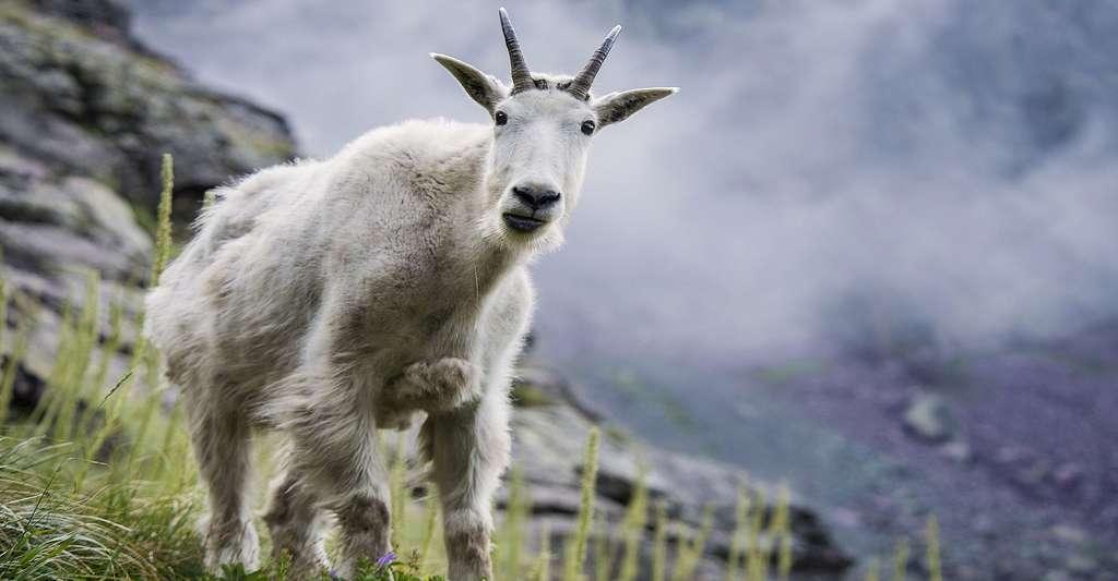 Les chèvres produisent un lait riche et une protéine très spécifique. © Skeez, DP