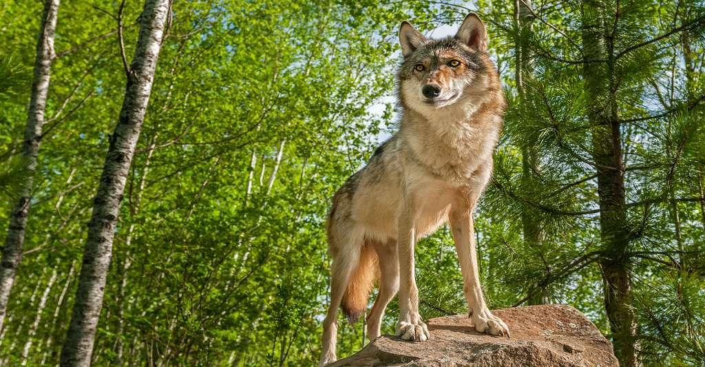 Pour développer le tourisme en Lorraine, le territoire peut notamment mettre en avant ses forêts denses et sa faune remarquable. Ici, un loup gris (Canis lupus). © Holly Kucheran, Shutterstock