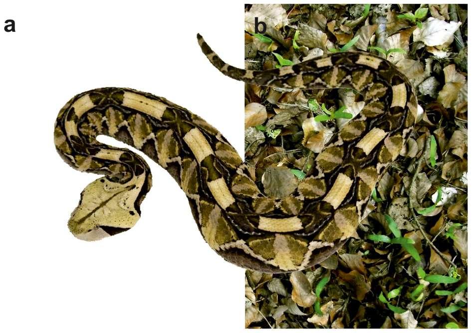 Les motifs et les couleurs de la peau de la vipère du « Gabon de l'Ouest » font de cet animal l'un des serpents les plus doués en camouflage. © Marlene Spinner et al., 2013, Scientific Reports