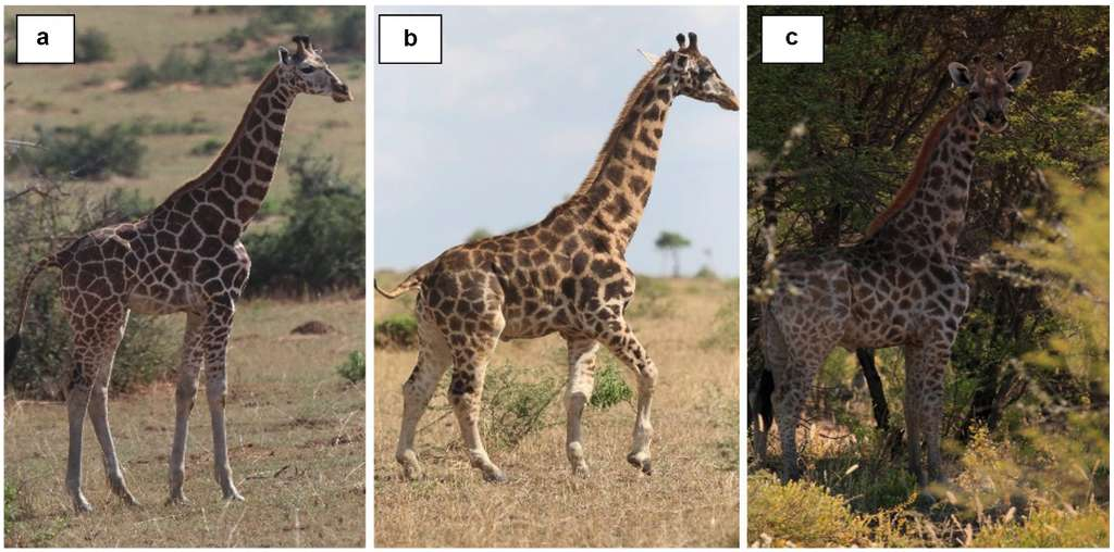 a : la photo d'une girafe normale. b : la girafe naine photographiée dans le parc de Murchison Falls en Ouganda. c : la girafe naine observée dans une ferme de Namibie. © Michael Butler Brown et Emma Wells, BMC Res Notes, 2020
