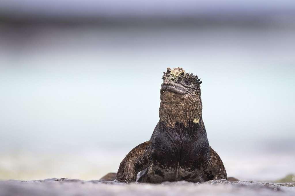 L'iguane marin ou « dragon nonchalant », est peu farouche et donc facile à photographier. © Maxime Aliaga, tous droits réservés